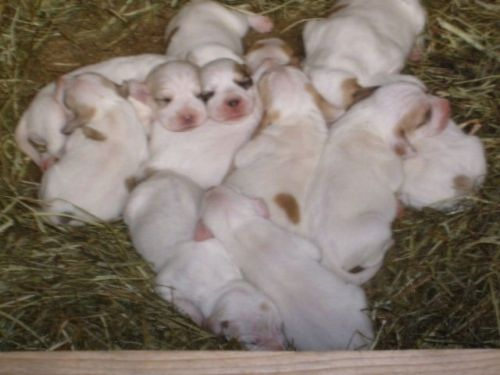 briquet griffon vendeen puppies