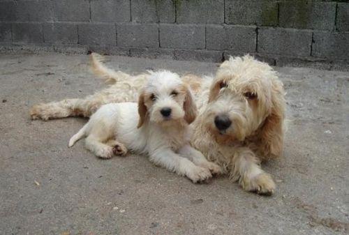 briquet griffon vendeen puppy