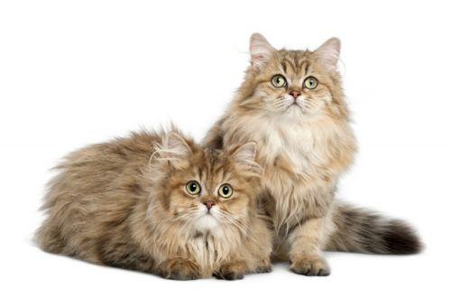 british longhair cats