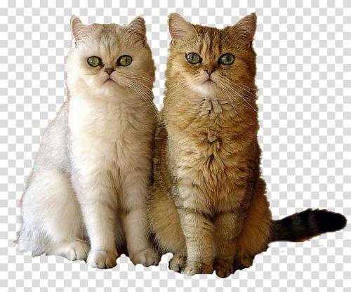 british semi longhair cats
