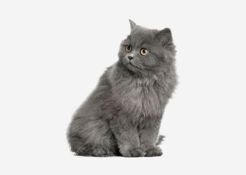 british semi longhair kitten