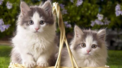 british semi longhair kittens