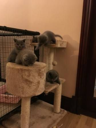 British Shorthair Cats for sale in California St, Watertown, MA 02472, USA. price 450USD