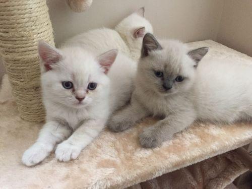 British Shorthair Cats for sale in Gallatin Gateway, MT 59730, USA. price -USD