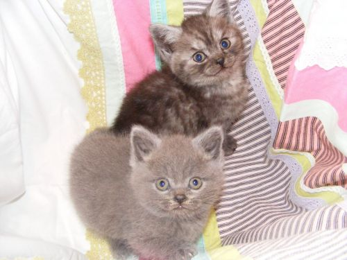British Shorthair Cats for sale in Orange County, CA, USA. price 500USD