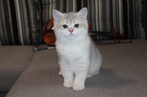 British Shorthair Cats for sale in Los Angeles, CA, USA. price 500USD