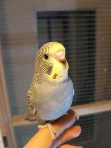 Budgerigar Birds for sale in New York State Thruway, Scarsdale, NY 10583, USA. price 500USD