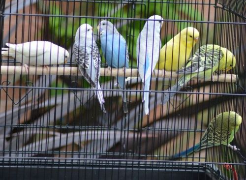 Budgerigar Birds for sale in New York, NY, USA. price 30USD
