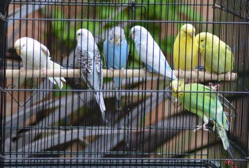 Budgerigar Birds for sale in Springfield, IL, USA. price 20USD