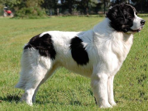 bulgarian shepherd dog
