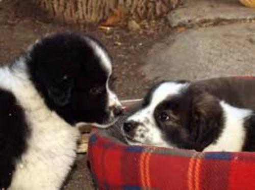 bulgarian shepherd puppies