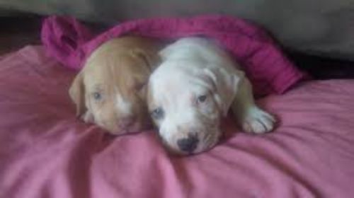 bull arab puppies