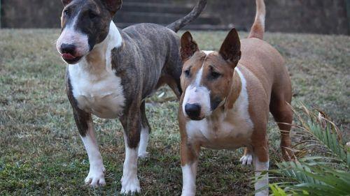 bull terrier dogs
