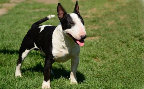 bull terrier miniature