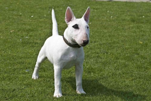 bull terrier miniature dog