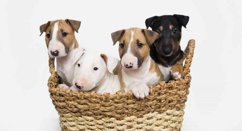 bull terrier miniature puppies