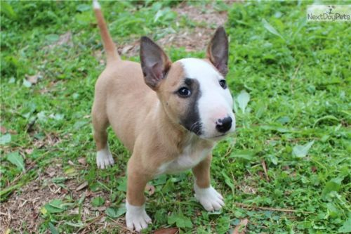 bull terrier miniature puppy