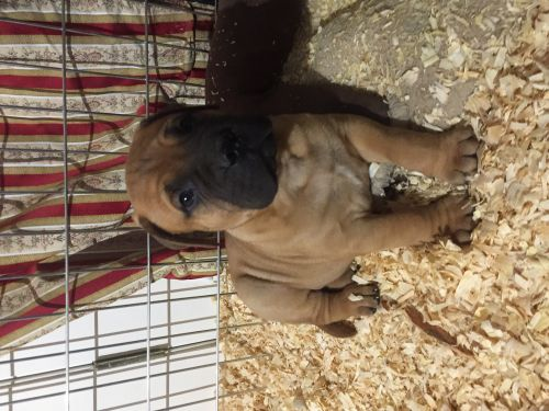 Bullmastiff Puppies for sale in Manassas, VA 20110, USA. price 1500USD
