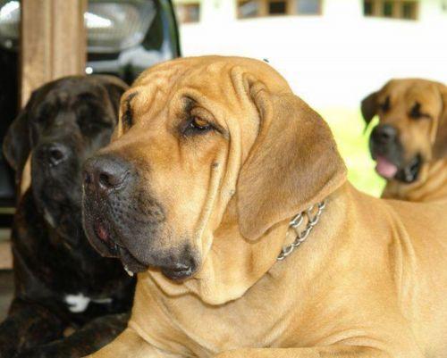 cabecudo boiadeiro dogs