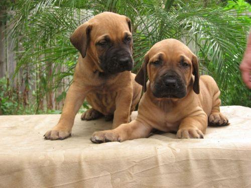 cabecudo boiadeiro puppies