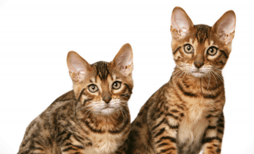 california spangled cat cats