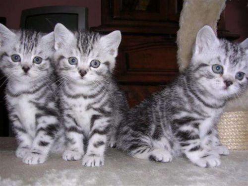 california spangled cat kittens