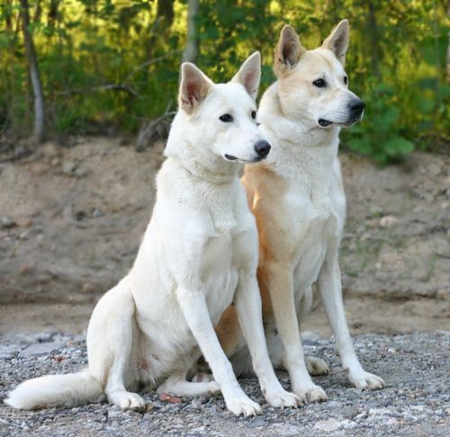 canaan dog dogs