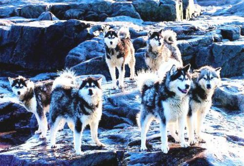 canadian eskimo dog dogs
