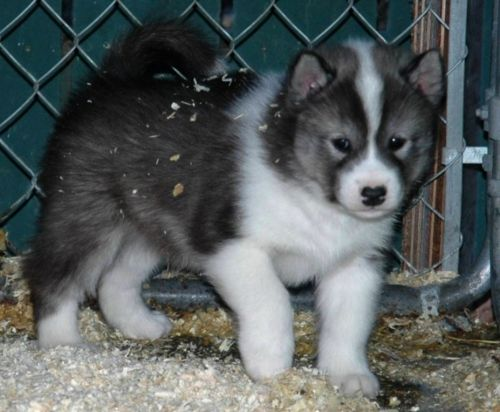 canadian eskimo dog puppy