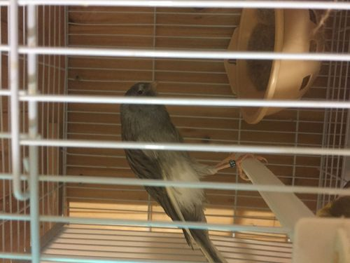 Canary Birds for sale in Dearborn Heights, MI 48127, USA. price 450USD