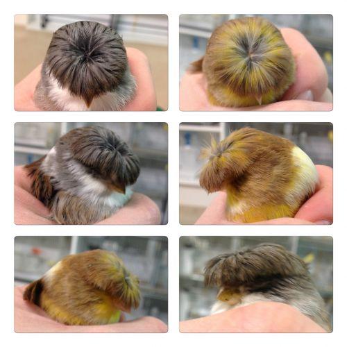 Canary Birds for sale in Woodbridge, VA 22191, USA. price 50USD
