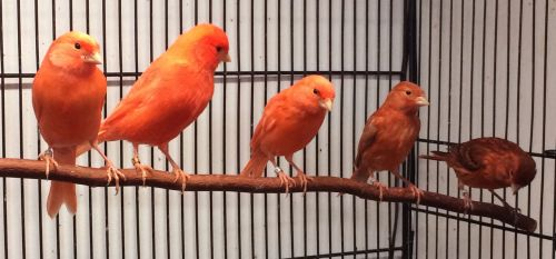 Canary Birds for sale in Mishawaka, IN 46544, USA. price 65USD