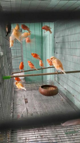 Canary Birds for sale in Chicago, IL, USA. price -USD