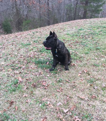 Cane Corso Puppies for sale in Conyers, GA, USA. price 1800USD