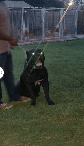 Cane Corso Puppies for sale in Rosenberg, TX, USA. price 1200USD
