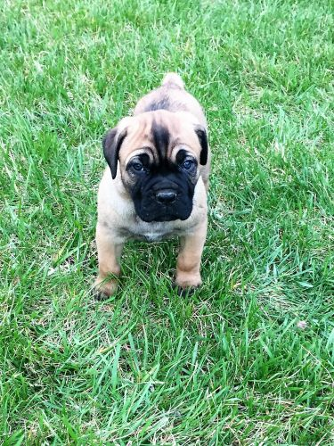 Cane Corso Puppies for sale in West Chester Township, OH, USA. price 1500USD