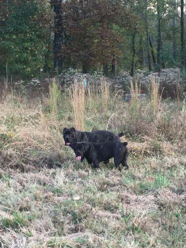 Cane Corso Puppies for sale in Cordova, TN, USA. price 500USD