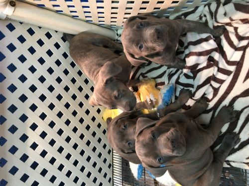 Cane Corso Puppies for sale in Kenmore, NY 14217, USA. price 1600USD