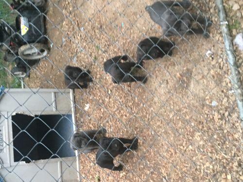 Cane Corso Puppies for sale in Memphis, TN 38119, USA. price 600USD