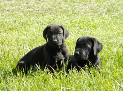 canis panther puppies