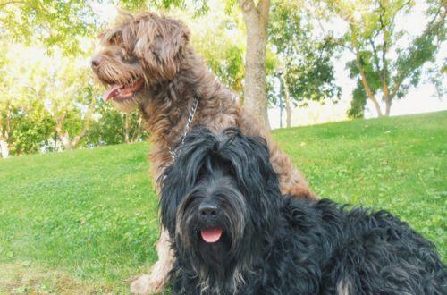 cao da serra de aires dogs
