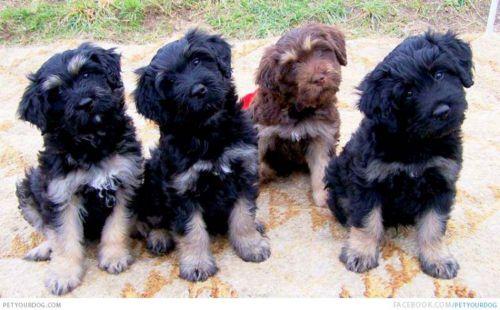 cao da serra de aires puppies