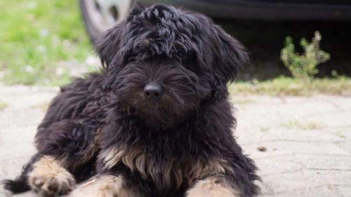 cao da serra de aires puppy