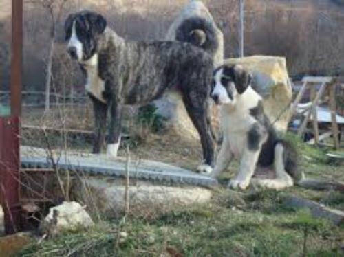 cao de gado transmontano dogs