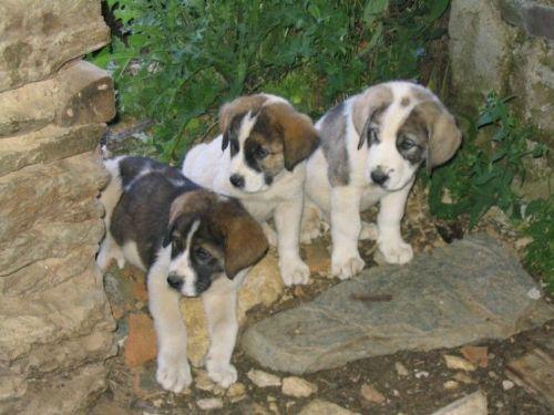 cao de gado transmontano puppies
