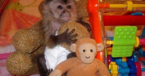 Capuchins Monkey Animals for sale in UT-175, South Jordan, UT 84095, USA. price -USD