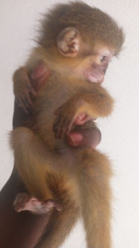 Capuchins Monkey Animals for sale in Bel Air, MD 21014, USA. price 500USD