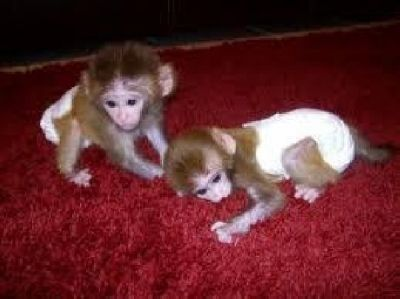 Capuchins Monkey Animals for sale in Miami Gardens, FL, USA. price -USD