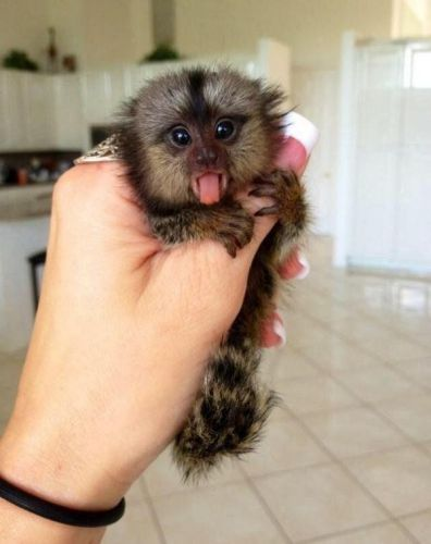 Capuchins Monkey Animals for sale in Denver, CO, USA. price 250USD