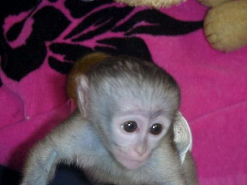 Capuchins Monkey Animals for sale in NM-597, Teec Nos Pos, NM 86514, USA. price -USD